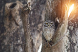Bird, Owl, Spotted owlet (Athene brama) in tree hollow,Bird of Thailand - 237844772