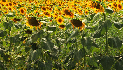Sunflowers field. Agricultural rural landscape
