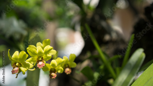green orchid flower - 237854959