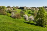 Blühende Streuobstwiese bei Burgauberg im Burgenland (A)