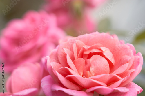 Pink roses close up on a bush with blurred background. - 237863548