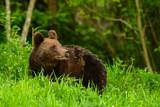 Niedźwiedź brunatny - 237872780
