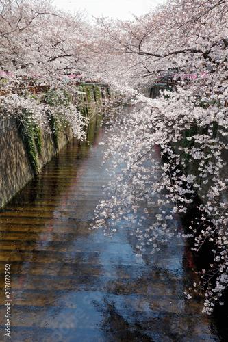 東京 目黒川の桜