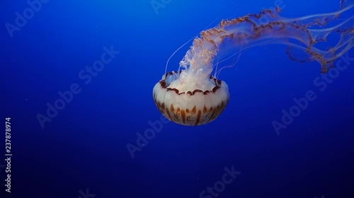 Shot of the Majestic Jellyfish at Monterey Bay Aquarium in California.  The Jellyfish are part of an exhibit there showcasing the local jellyfish that populate Americas East Coast