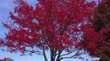 Dolly-in pan up view of bloodshot red leafy tree - 237882364