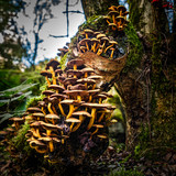 Fungi on a Birch Tree Stump