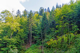 Trees in the Forest | Location: Beskid Sądecki, Carpathian Mountains, Lesser Poland Voivodeship, Poland