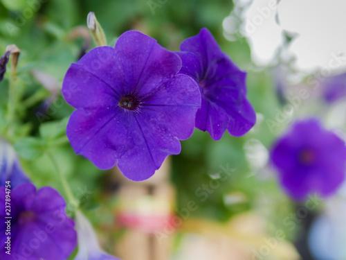 blue flower in garden - 237894754