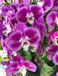 Phalaenopsis Orchid in the garden - 237901156