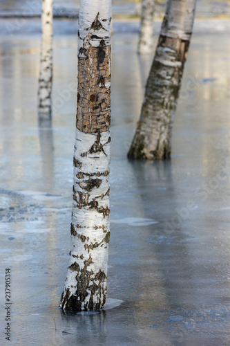 birch in the park - 237905314