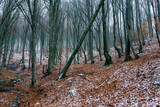 Tilted beech tree in deciduous woods at wintertime in Romania. - 237909761