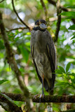 Yellow Crowned Night Heron Nyctanassa Violacea, Taken 15/10/2018, La Fortuna, Costa Rica. - 237914708