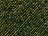 aerial view of field of blooming sunflowers