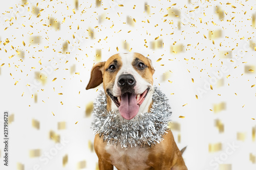 Happy dog in Christmas tinsel and confetti background. Portrait of staffordshire terrier with new year tinsel decoration around neck