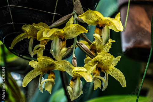 orchids yellow - 237939394