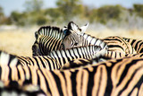 Zebra versteckt sich in der Herde