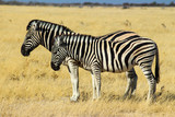 two Zebras standing next to eachother, Africa © Nicolas