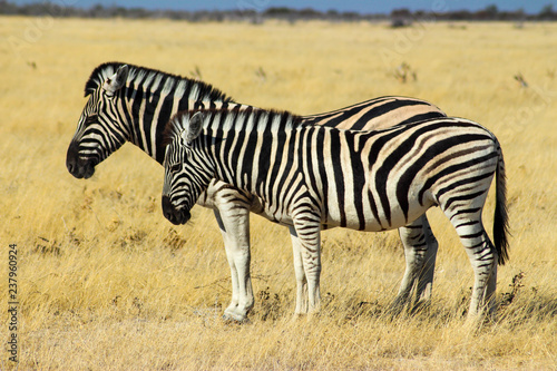 two Zebras standing next to eachother, Africa