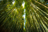 The famous bamboo grove locate in Arashiyama District in Kyoto, Japan © Puripat