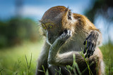 The macaque scratches on the head using the lower limb, the monkey sits on a green grassy meadow, National Park in Thailand - 237967154