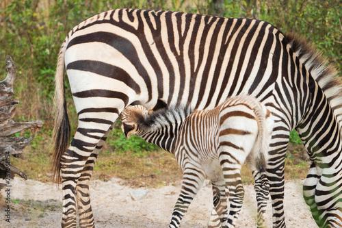 Plakat Zebra Foal