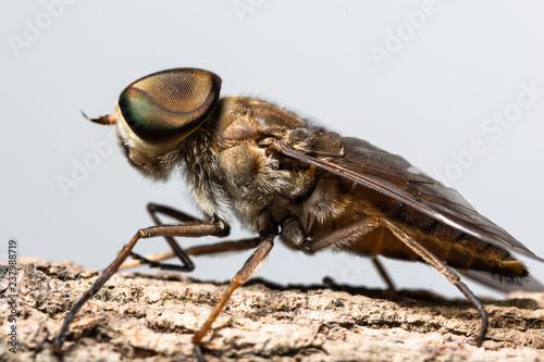 Macro insect Tabanus sulcifrons - 237988719