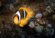 Clownfish, Red Sea