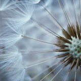 Fototapeta Dmuchawce - the beautiful abstract dandelion flower in the garden in the nature © Ismael