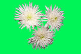 White chrysanthemum flowers on green background