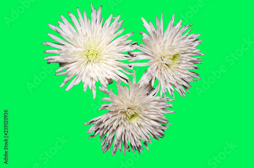 White chrysanthemum flowers on green background - 238020936