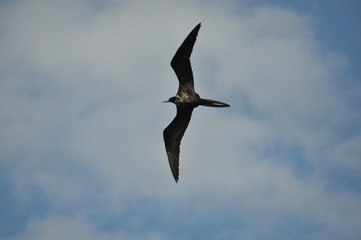Frigate, a bird with a long tail floating in the air against the sky