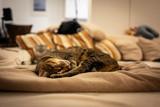 Photo of a Savannah cat