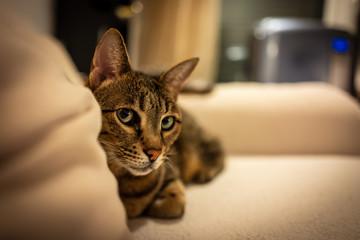 Photo of a Savannah cat © Pierre