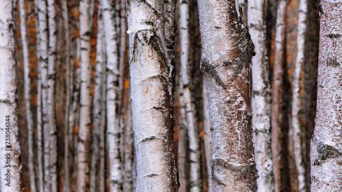 Dense birch trees in Autumn - 238046144