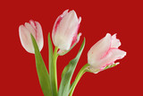 White tulips with red edges of petals isolated on red background © Owl_photographer