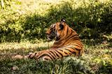 tiger, animal, cat, wildlife, wild, feline, mammal, nature, predator, zoo, stripes, carnivore, big, orange, jungle, fur, siberian, bengal, beautiful, danger, head, big cat, striped, endangered, portra