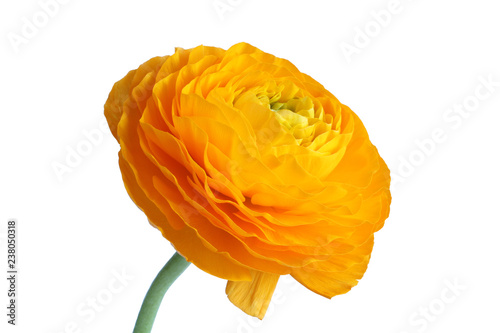 Opened yellow buttercup on white background. Closeup