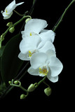 White Orchid (Phalaenopsis) isolated on black background