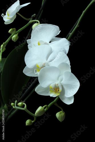 White Orchid (Phalaenopsis) isolated on black background - 238050760