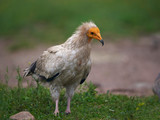 Egyptian vulture (Neophron percnopterus) - 238053531