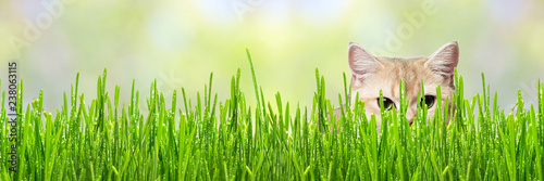 Protruding ears funny cat from green grass. Wallpaper, border design panoramic banner - 238063115