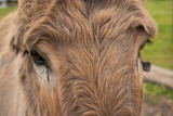 Brown donkey poses for a portrait on a farm.