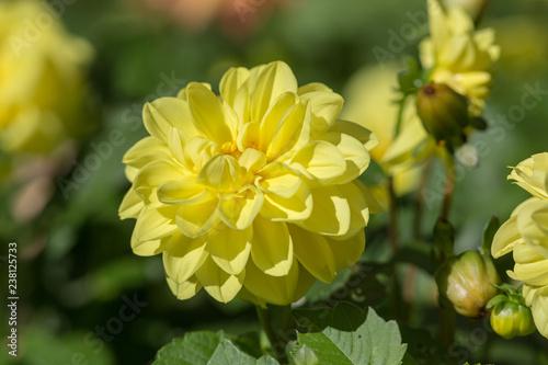 yellow dahlia close up - 238125733