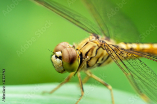 dragonfly on green leaves - 238137963