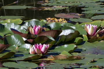 summer basin  pink lotus in like.