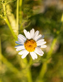 small daisies as background - 238144136