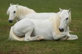 Fototapeta Horses - Two white horses © Marek
