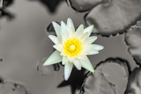 Lotus is many colors and beautiful in ponds, is a symbol of Buddhism. - 238171929
