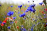 Blaue Kornblumen und roter Mohn auf dem Acker.