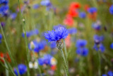 Einzelne blaue Kornblume
